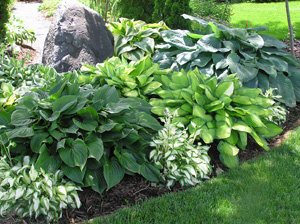Mixed Varieties Of Hostas Are Often Planted Together In A Shade Garden.